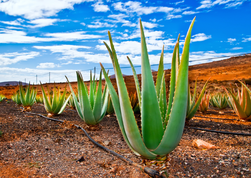Aloe vera plantation on Furteventura